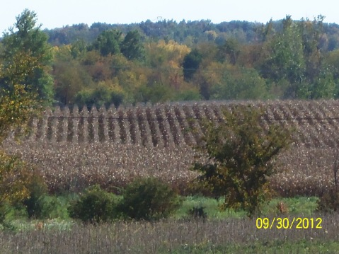 Indiana corn field ready to be harvested.  (Photo first used for Travel Theme: Foliage back in Sept. 2012)
